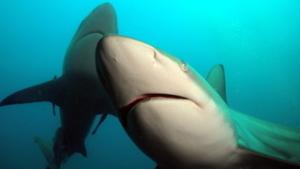 sharks weiterstadt